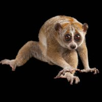 Photo: Pygmy slow loris (Nycticebus pygmaeus) at the Omaha Zoo.