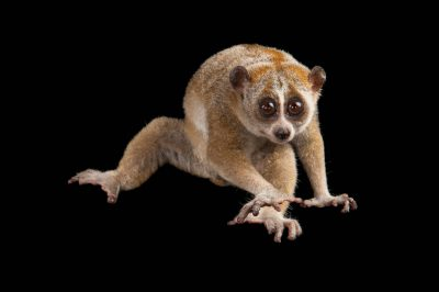 A vulnerable pygmy slow loris (Nycticebus pygmaeus) at the Omaha Zoo.