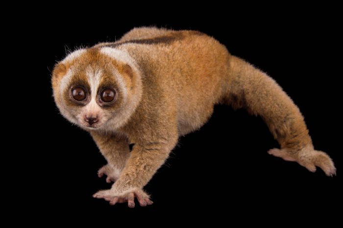 Picture of a greater slow loris (Nycticebus coucang) at the Minnesota Zoo. This is a vulnerable species that's in decline due to deforestation and the pet trade.
