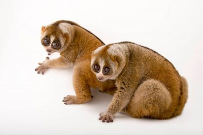 Picture of greater slow loris (Nycticebus coucang) at the Minnesota Zoo. This is a vulnerable species that's in decline due to deforestation and the pet trade.