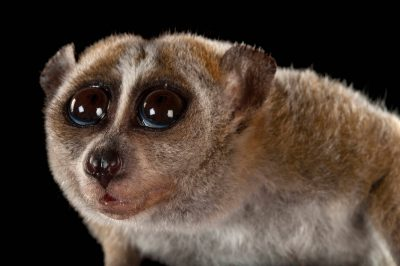 A vulnerable pygmy slow loris (Nycticebus pygmaeus) at Omaha's Henry Doorly Zoo and Aquarium, Omaha, Nebraska.