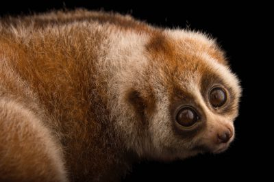 Picture of a vulnerable female Bengal slow loris (Nycticebus bengalensis) at the Endangered Primate Rescue Center in Cuc Phuong National Park, Vietnam.