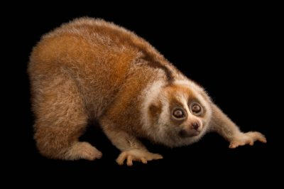 bengal slow loris reasons for endangerment This critically endangered bengal slow loris was found abandoned in bedok  reservoir despite the critical care provided by the animal.