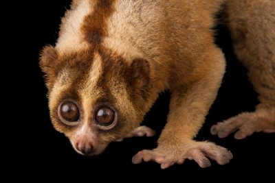 Photo: A critically endangered Javan slow loris (Nycticebus javanicus) at Night Safari, part of Wildlife Reserves Singapore.