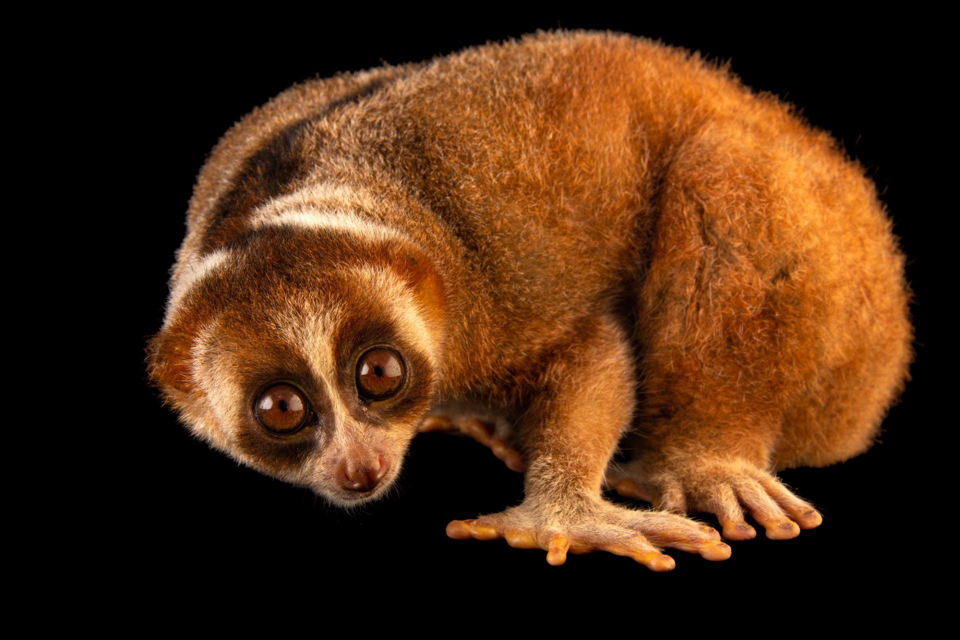 Photo: Floppy, the female Bengal slow loris (Nycticebus bengalensis) at the Singapore Zoo. This species is listed as vulnerable by IUCN.