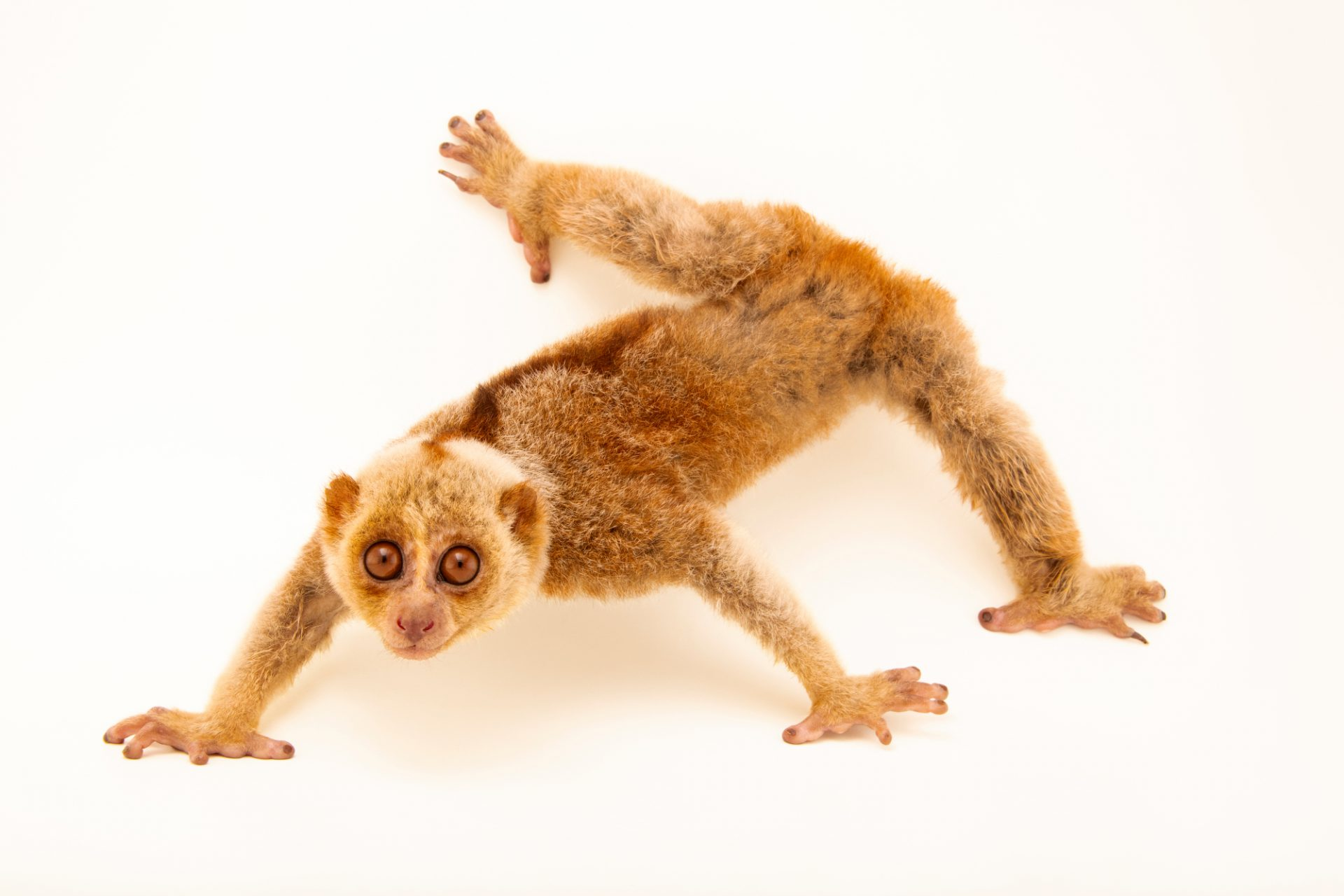 Photo: Bengal slow loris (Nycticebus bengalensis) at the Angkor Centre for Conservation of Biodiversity (ACCB) in Siem Reap, Cambodia.