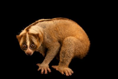 Photo: A critically endangered Javan slow loris (Nycticebus javanicus) at Jakarta Natural Resource Conservation Center in Indonesia.