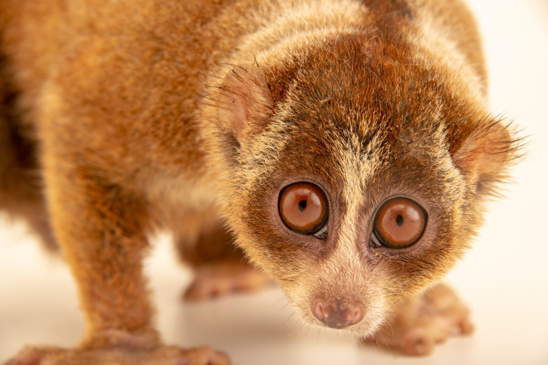 Photo: A Sumatran slow loris (Nycticebus coucang) at Jakarta Natural Resource Conservation Center in Indonesia.