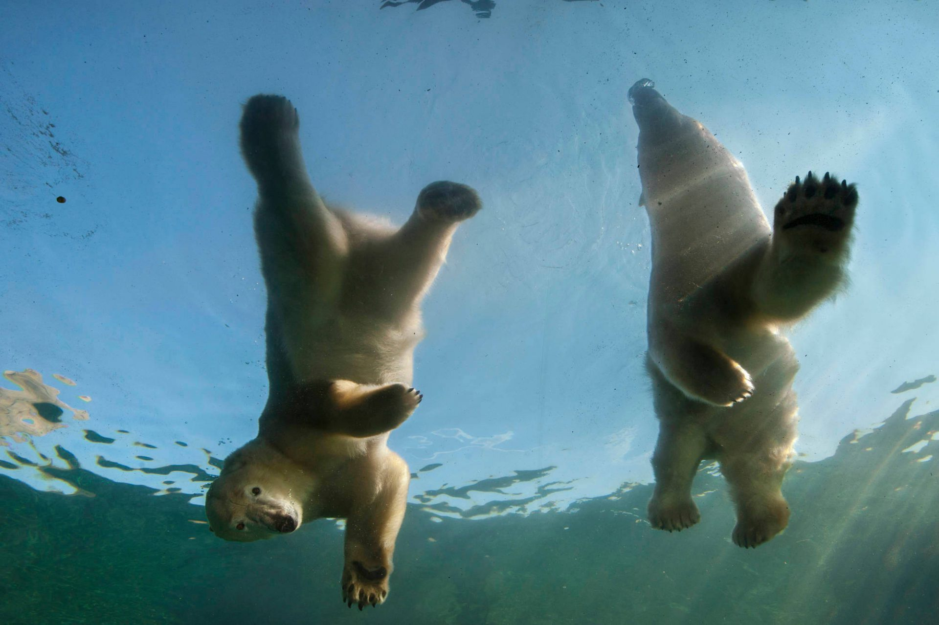Vulnerable (IUCN) and federally threatened polar bears (Ursus maritimus) delight the crowd through 5-inch-thick acrylic at the Columbus Zoo. The underwater display is filled with live rainbow trout so the bears can fish.