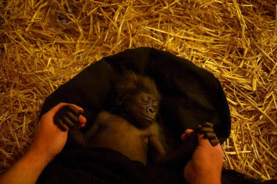 Gladys, a six-week-old baby gorilla, at the Cincinnati Zoo. She was abandoned by her mother at the Gladys Porter Zoo, and the Cincy Zoo staff agreed to take her in. They care for her 24 hours a day. Listed as critically endangered and federally endangered