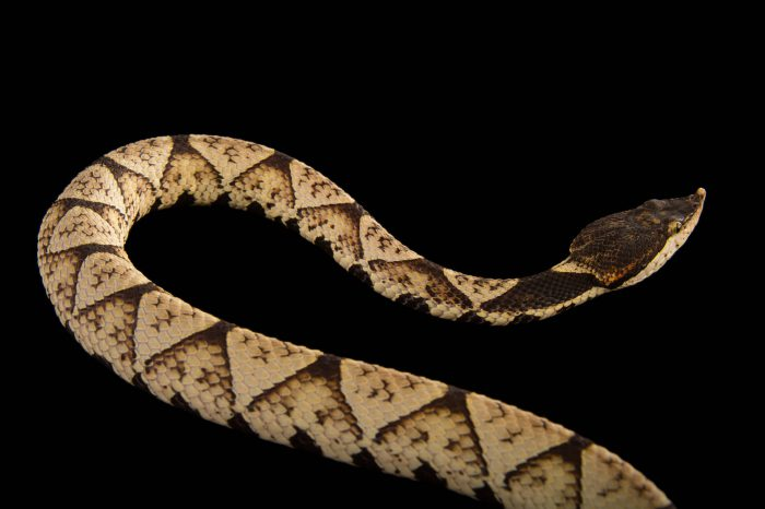 Picture of a sharp-nosed viper (Deinagkistrodon acutus) at the Dallas Zoo.