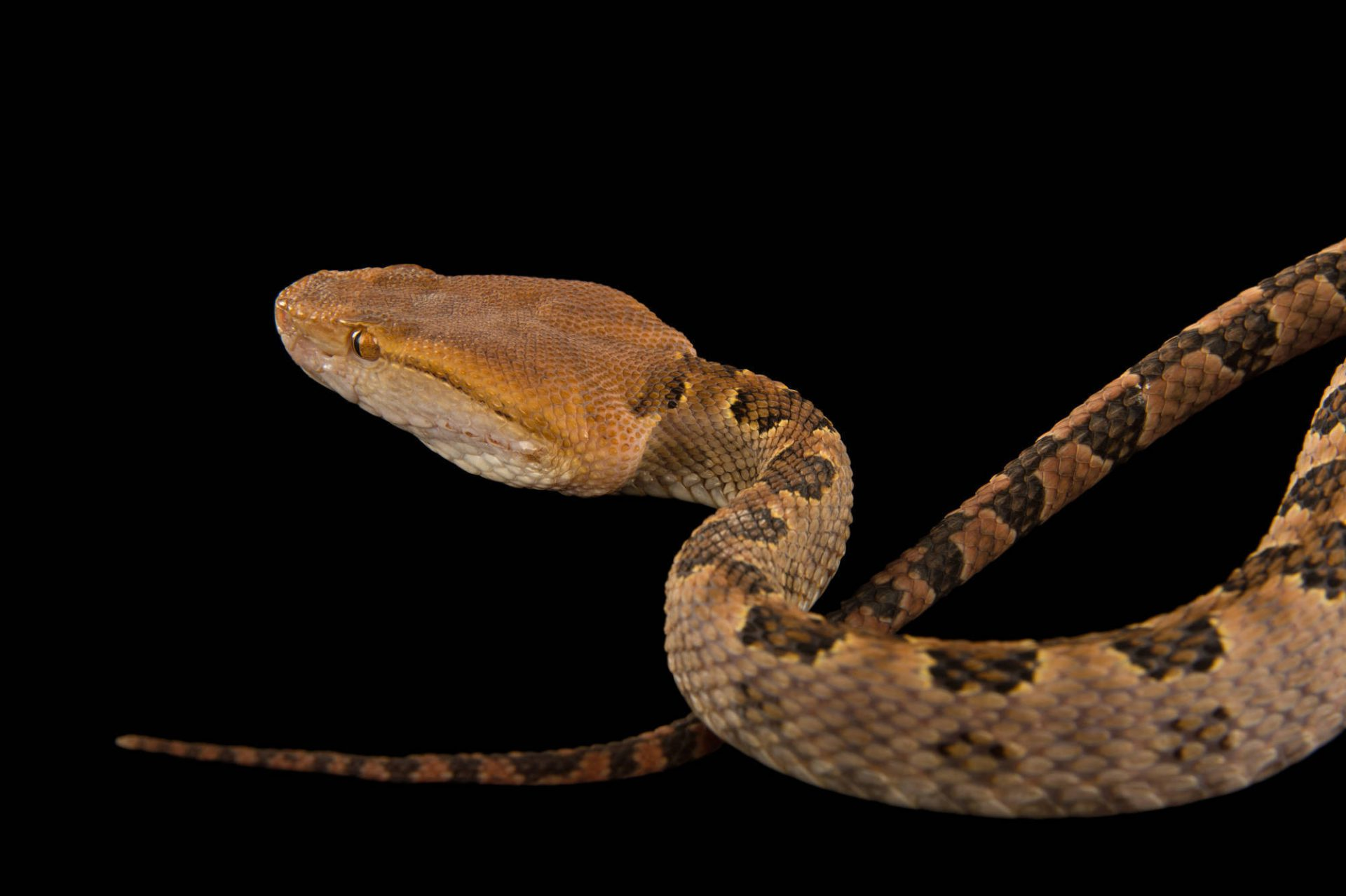Picture of a brown spotted pit viper (Protobothrops mucrosquamatus) at the Dallas Zoo.