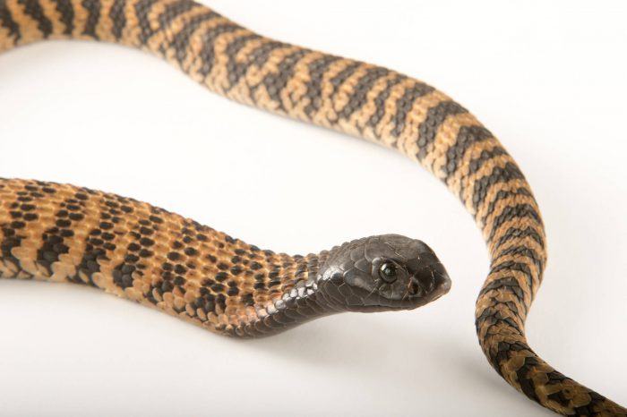 Picture of a ring-necked spitting cobra (Hemachatus haemachatus) at the Dallas Zoo.