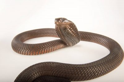 Picture of an Egyptian cobra (Naja haje) at the Dallas Zoo. This is an undescribed subspecies from northern Africa.