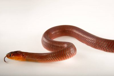 Picture of a red spitting cobra (Naja pallida) at the Dallas Zoo.