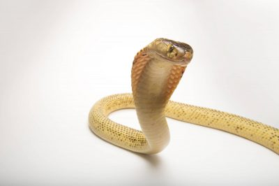 Picture of a Sumatran spitting cobra (Naja sumatrana) at the Dallas Zoo.
