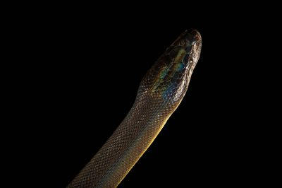 Picture of a brown water python, Liasis fuscus, at the Wild Life Sydney Zoo.