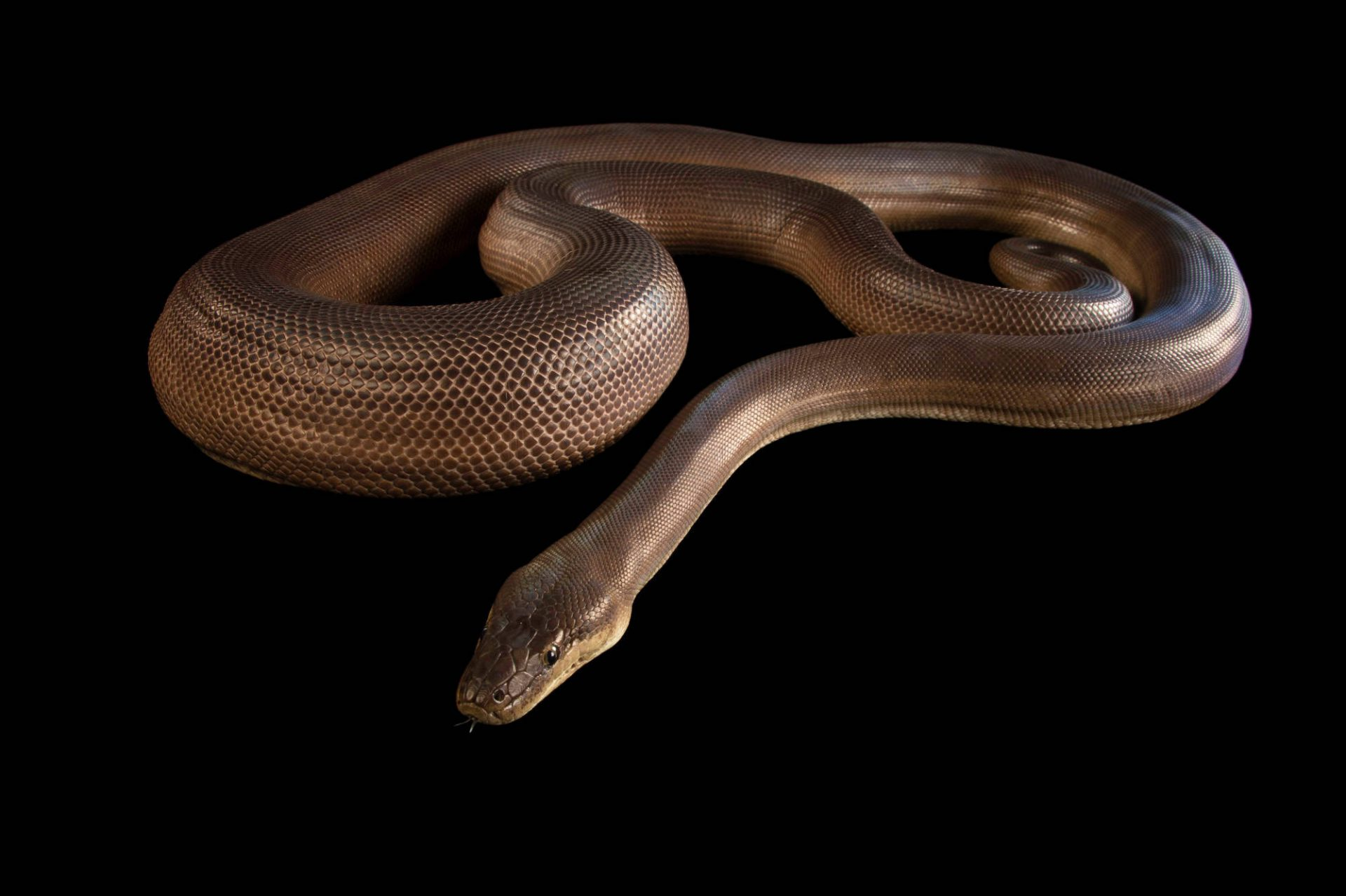An olive python (Liasis olivaceus olivaceus) at the Wild Life Sydney Zoo.