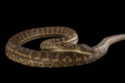 Picture of a southern carpet python (Morelia spilota imbricata) at the Wild Life Sydney Zoo.