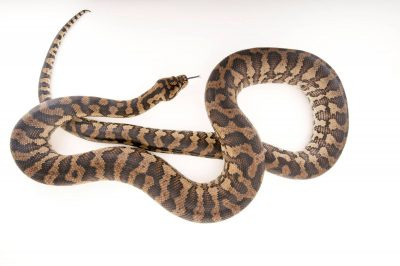 Picture of a coastal carpet python (Morelia spilota mcdowelli) at the Wild Life Sydney Zoo.