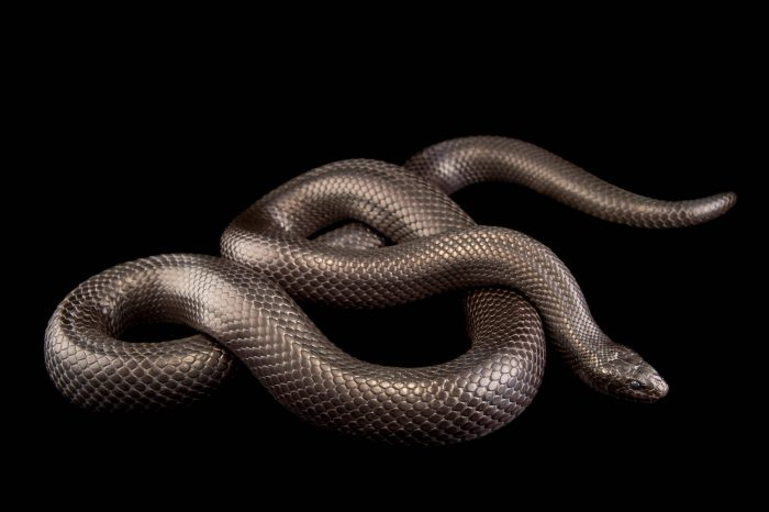 Picture of a Mexican black kingsnake (Lampropeltis getula nigrita) at the Omaha Henry Doorly Zoo.