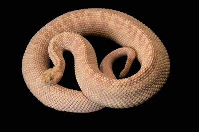 A Northwestern neotropical rattlesnake (Crotalus durissus culminatus) at the Gladys Porter Zoo in Brownsville, Texas. This is a xanthic specimen, lacking normal pigmentation.