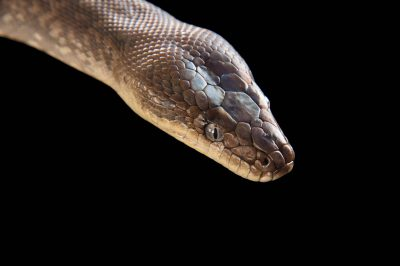Picture of a Macklot's python (Liasis mackloti) at the Columbus Zoo, Columbus, Ohio.
