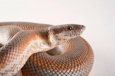 A desert rosy boa (Lichanura trivirgata gracia) at the Miller Park Zoo in Bloomington, Illinois.