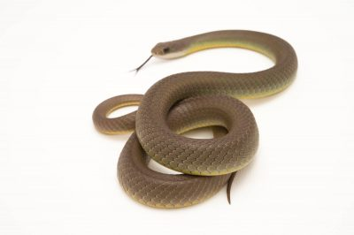 Picture of a western yellow-bellied racer or Mormon racer (Coluber constrictor mormon) from the wild in Utah.