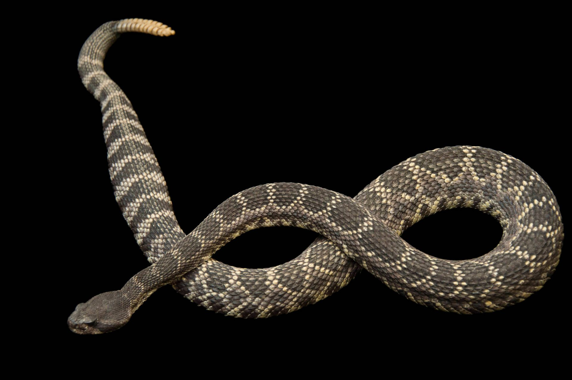 Picture of a Southern pacific rattlesnake (Crotalus oreganus helleri) at the Santa Barbara Zoo.