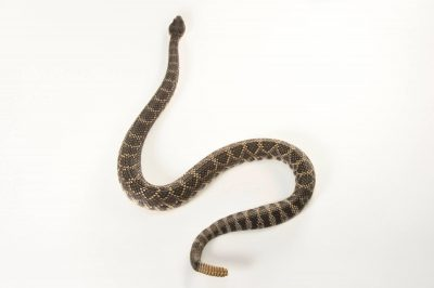 Picture of a Southern pacific rattlesnake (Crotalus oreganus helleri) at the Santa Barbara Zoo.