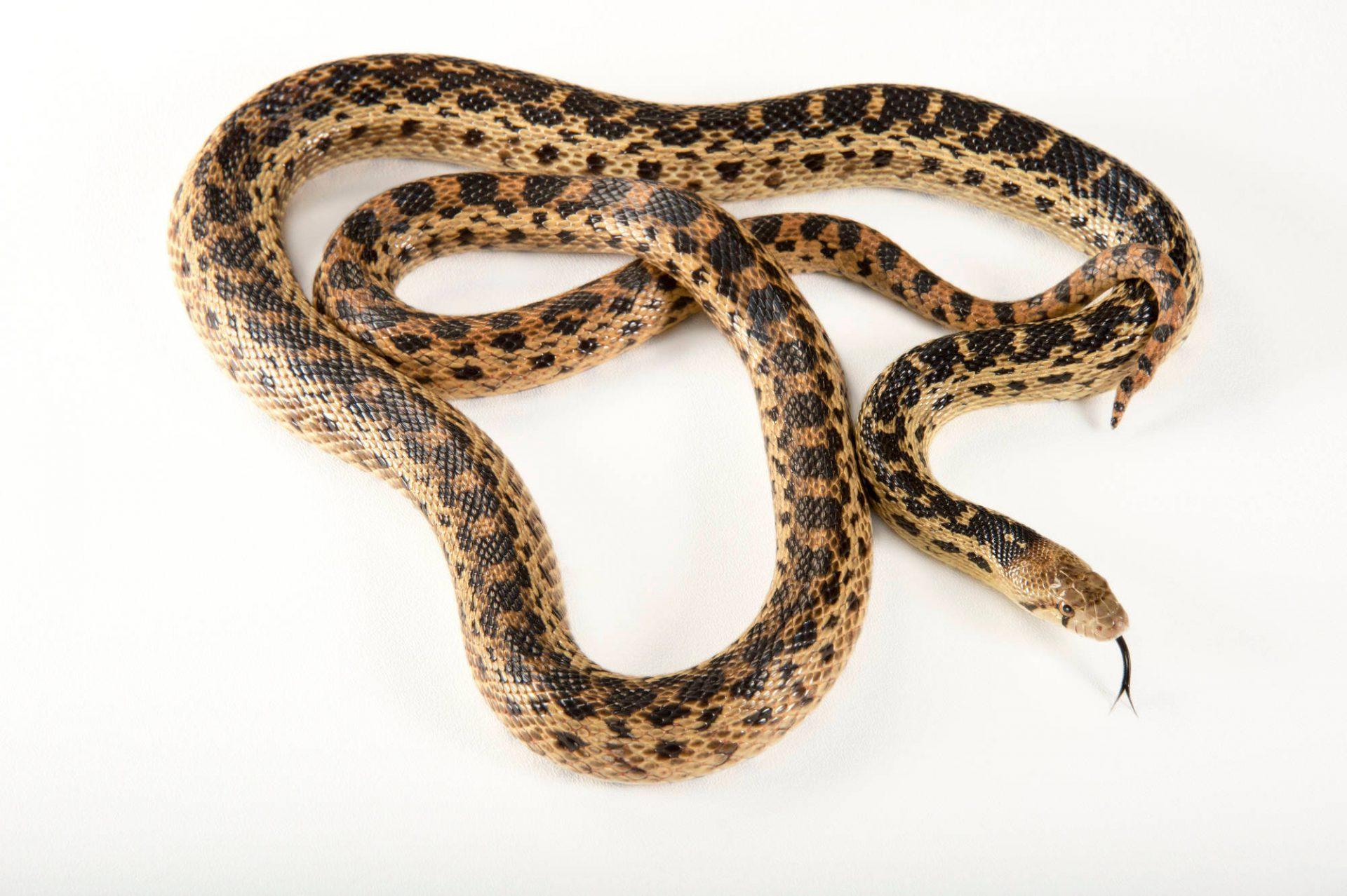 Picture of a Santa Cruz gopher snake (Pituophis catenifer pumilis) at the Santa Barbara Zoo.