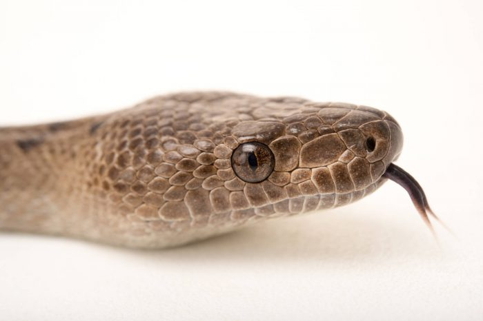 Picture of an Abaco Island boa (Epicrates exsul) at the Oklahoma City Zoo.
