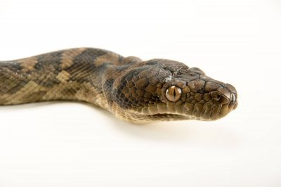 Picture of a Halmahera python (Morelia tracyae) at the Oklahoma City Zoo.