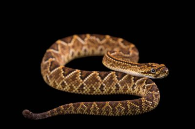 Picture of a Cascabel rattlesnake (Crotalus durissus terrificus) at the Tulsa Zoo.