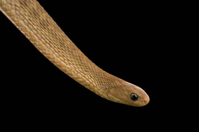 Picture of a Central African egg-eating snake (Dasypeltis fasciata) at the Rolling Hills Zoo.