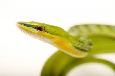 Green vine snake (Ahaetulla nasuta nasuta) at the Rolling Hills Zoo.