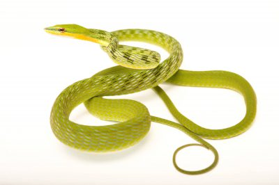 Picture of a green vine snake (Ahaetulla nasuta) at the Rolling Hills Zoo.