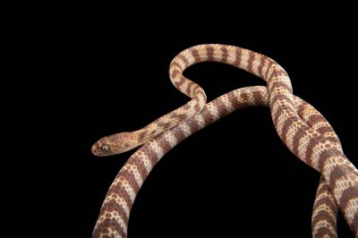 A brown tree snake (Boiga irregularis).