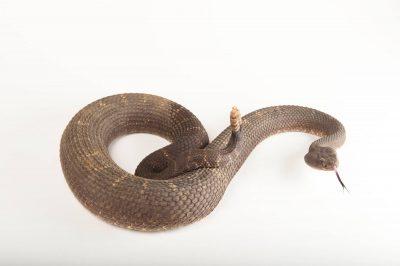Arizona black rattlesnake (Crotalus oreganus cerberus).