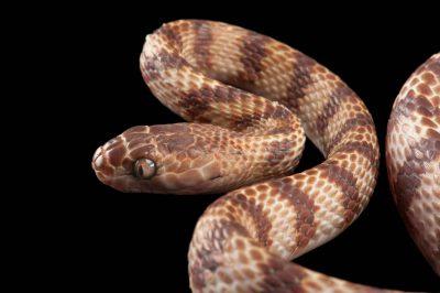 A brown tree snake (Boiga irregularis).