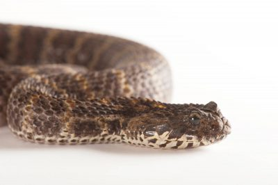 A rough-scaled death adder (Acanthopis rugosus).