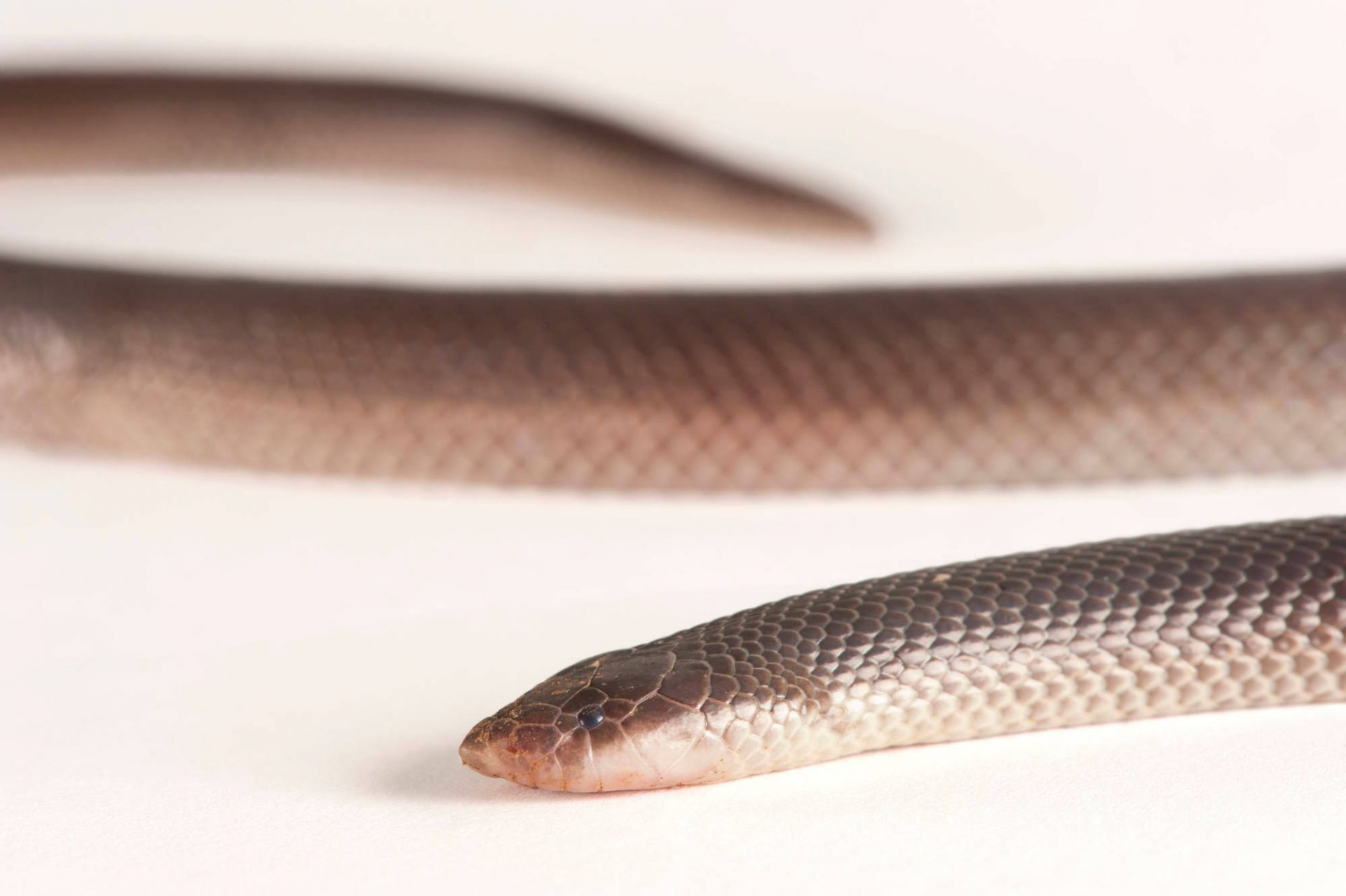 A stiletto snake (Atractaspis bibronii). This snake is also known as a Bibron's mole viper and Bibron's burrowing asp.
