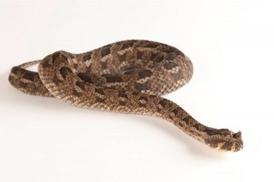 A many-horned adder (Bitis cornuta).