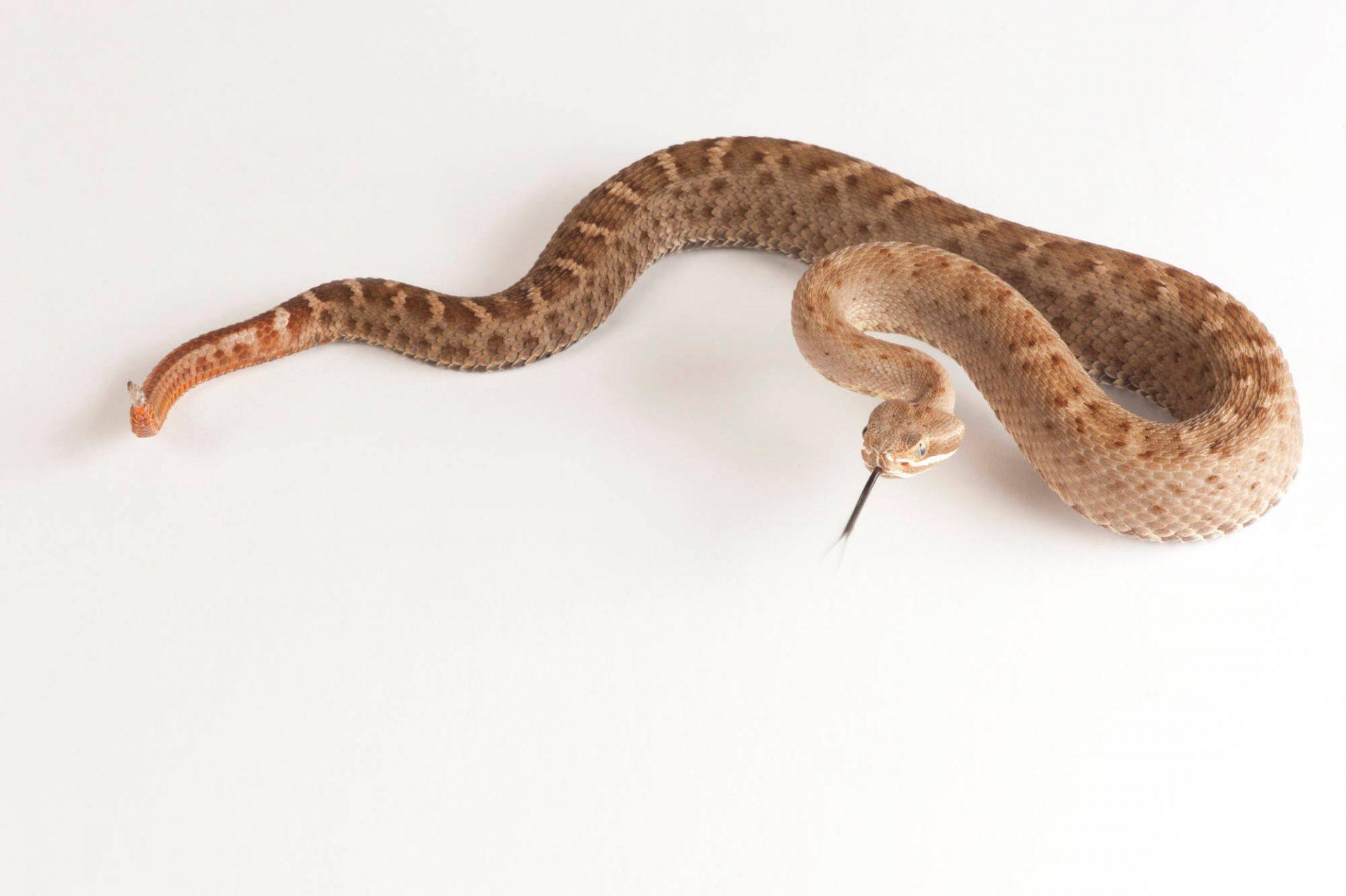 A Southern ridge-nosed rattlesnake (Crotalus willardi meridionalis).