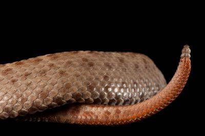 The tail end of a Southern ridge-nosed rattlesnake (Crotalus willardi meridionalis).