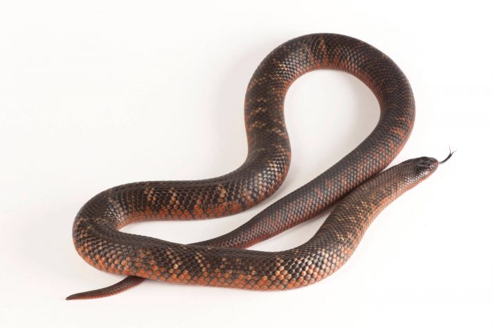 A Collett's snake (Pseudechis colletti).