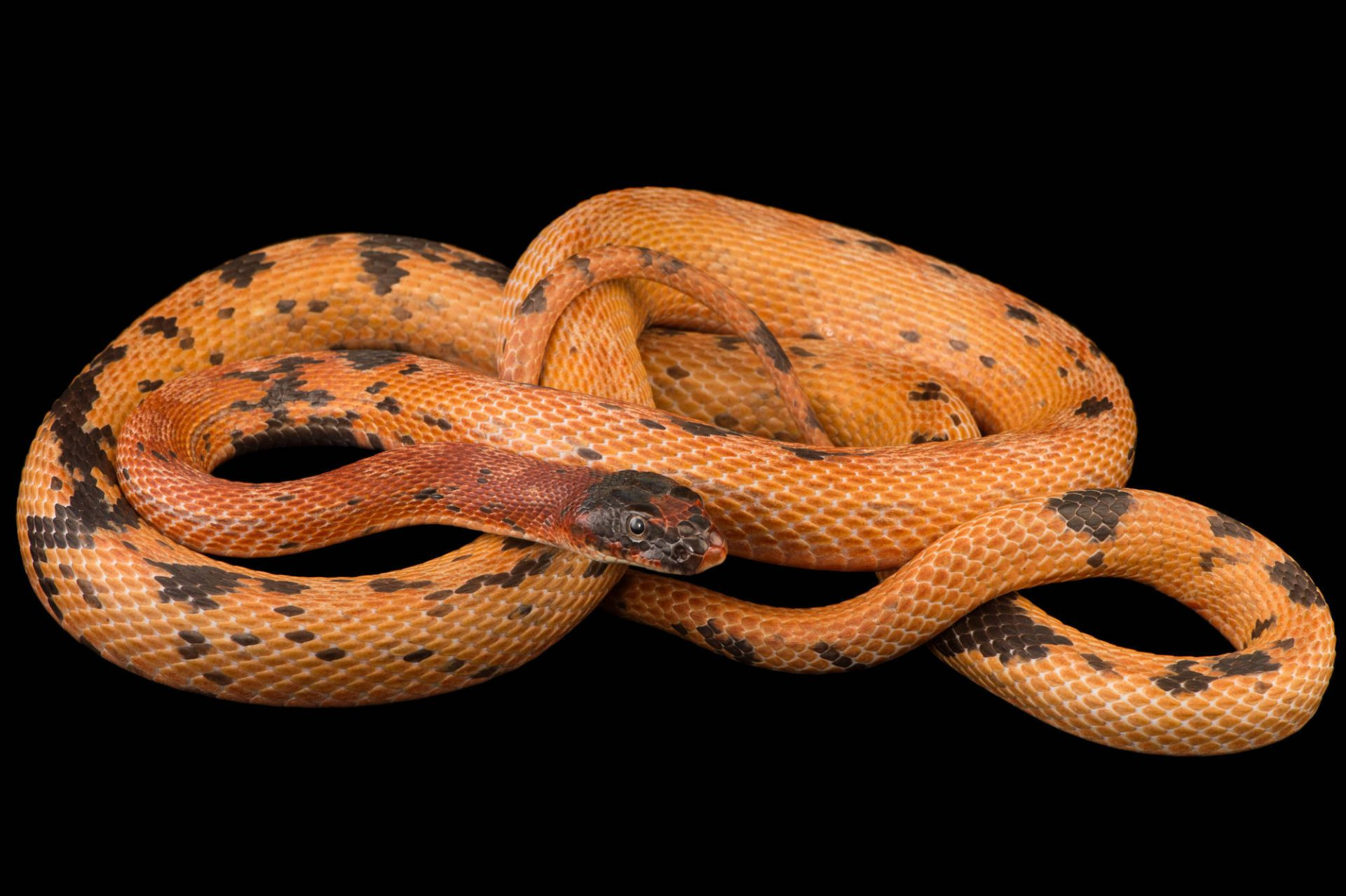 Picture of a royal diadem ratsnake (Spalerosophis diadema atriceps) from a private collection.