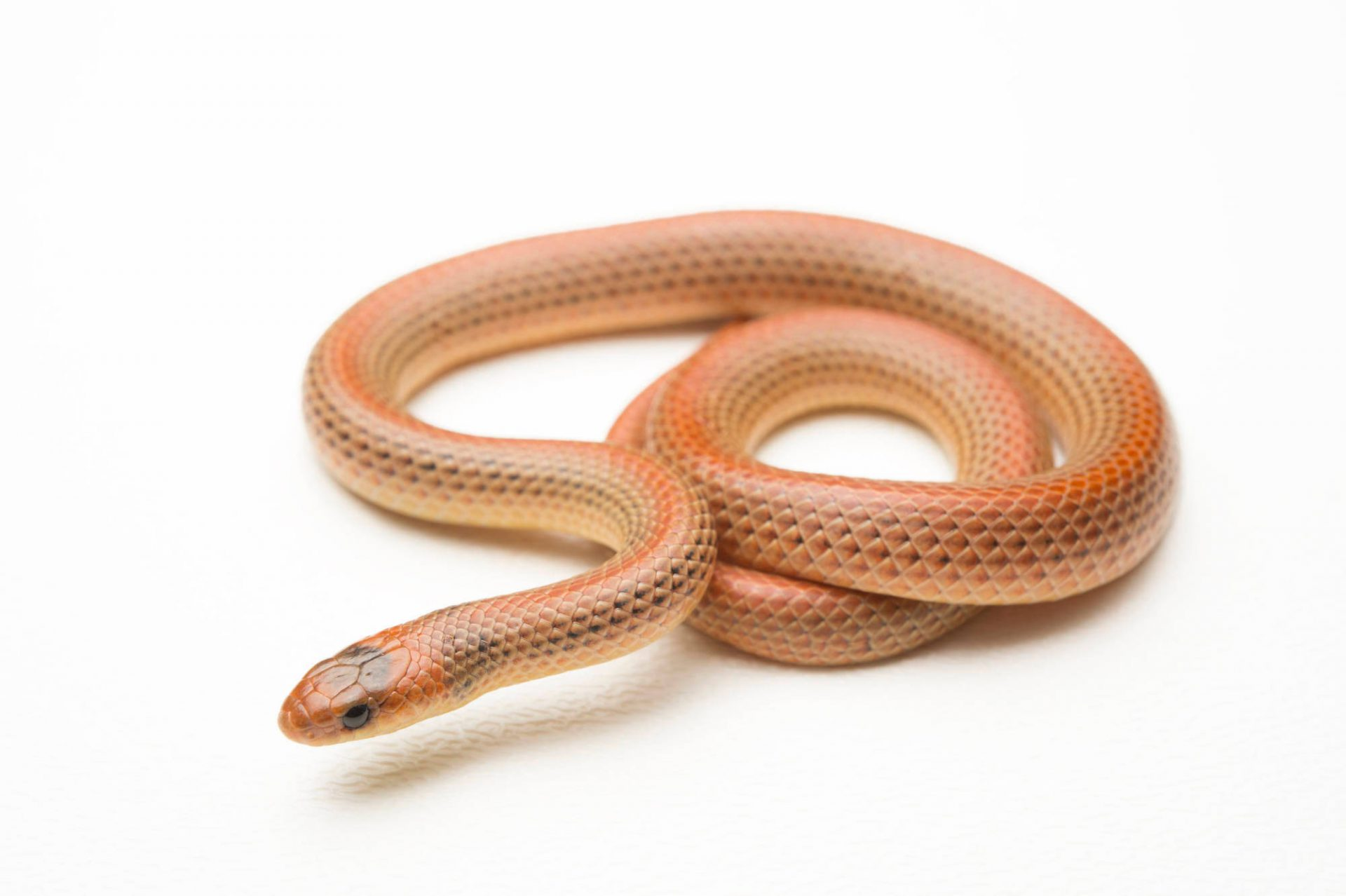 A studio portrait of a Western ground snake, Sonora semiannulata.