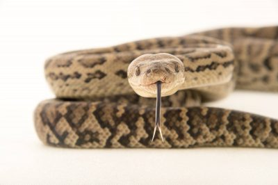 Picture of a Haitian ground boa (Epicrates fordii) from a private collection in the Dominican Republic.